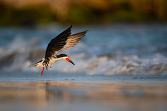 Black Skimmer (nikunj.m.patel) Tags: blackskimmer nature wild wildlife birds outdoor nikond850 naturephotography nikon shorebird summer beach
