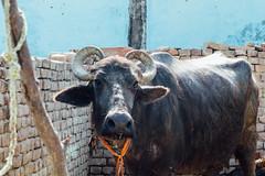 Cow, Vrindavan India (AdamCohn) Tags: adamcohn india mathura vrindavan cow holi wwwadamcohncom