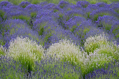 Purple and white Lavender field on Whidbey Island, Washington State (diana_robinson) Tags: purple lavender whitelavender lavenderfield whidbeyisland washingtonstate