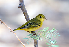 Yellow Warbler (Ed Sivon) Tags: america canon nature lasvegas wildlife wild western southwest desert clarkcounty vegas flickr bird henderson nevada yellow preserve