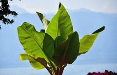 Le soleil dans les palmes (Diegojack) Tags: vaud suisse morges ouchy quais d500 nikon nikonpassion palmes lumière semitransparence