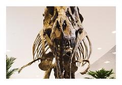_PRE2499 (Jordane Prestrot) Tags: ♉ jordaneprestrot dinosaure dinosaur dinosaurio os bone hueso tyrannosaure trex tiranosaurio supermarché supermarket supermercado cora