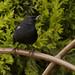 Black Flowerpiercer_Diglossa humeralis_Monserrate_Colombia_Ascanio_199A4754