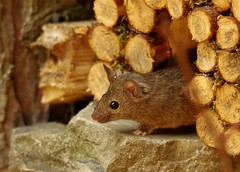 Wild garden house mouse in a Autumn  setting  (8) (Simon Dell Photography) Tags: wild garden house mouse nature animal cute funny fun moss covered log pile acorns nuts berries berrys fuit apple high detail rodent wildlife eye ears door home sheffield ul old english country s12 simon dell apples autumn fall winter fruits seasonal photography