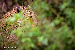 Leopardo acechando entre la espesura (vfr800roja) Tags: africa pantherapardus leopardo kenya leopard lleopard chui masaimara narok valledelrift kenia ke