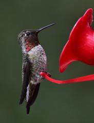 Ruby-throated hummingbird (D70) Tags: northgaliano britishcolumbia canada rubythroated hummingbird nikon d750 150600mm f563 ƒ85 7611mm 11600 2000 sigma contemporary tc1401 teleconverter