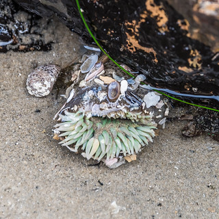 Sea Anemone Decked with Shells!