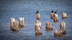 cormorants (beautiful.betty18) Tags: perpetual challengeyouwinner cyunanimous