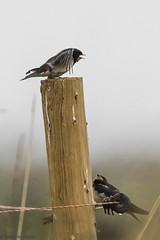 Swallows at RSPB Frampton Marsh (Cerdic Elesing) Tags: post rspb framptonmarsh england swallow birds lincolnshire polaroidhighdefinition200 rain perching fence object xequals