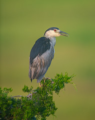 Black-crowned Night-Heron (nikunj.m.patel) Tags: heron nature wild wildlife birds outdoor summer migration blackcrownednightheron nikon naturephotography bird rookery