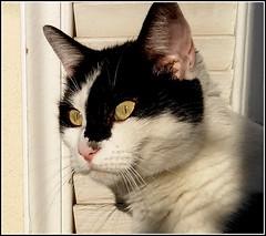 moins chaud le soleil, l'approche de l'automne, sûrement... (Save planet Earth !) Tags: todd cat chat france amcc feline félin fabuleuse