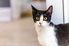 Phoebe15Sep201821.jpg (fredstrobel) Tags: pawsatanta pets cats atlanta animals ga pawscats places usa decatur georgia unitedstates us
