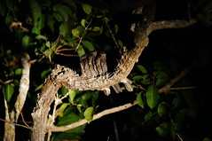 Band-Tailed Nighthawk (tim ellis) Tags: holiday amazon iracema rionegro bird nighthawk bandtailednighthawk nyctiprogneleucopyga manaus brazil