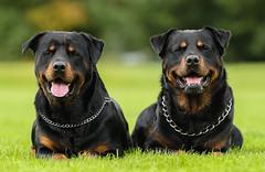 AC8I8700-Edit-1 (Dessie Loughery) Tags: rottweiler