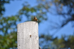 2018-09-10 Bird Watching 15 (s.kosoris) Tags: skosoris nikond3100 d3100 nikon bird birds nuthatch camp huronian