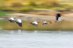 Fly like an Egyptian (craig.denford) Tags: pen ponds richmond park london egyptian geese craig denford