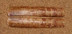 Razor clam (Solen sloanii) (shadowshador) Tags: razor clam solen sloanii neomura eukaryota opisthokonta holozoa filozoa animalia eumetazoa bilateria protostomia lophotrochozoa mollusca conchifera bivalvia heterodonta euheterodonta imparidentia adapedonta solenoidea solenidae conchology malacology invertebrate invertebrates taxonomy scientific classification biology sea shell shells sand sandy beach wildlife life siquijor philippines