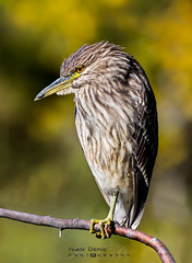 1T0A8218 (idvisions) Tags: aquaticbird wildlife wetlands wetland explore thewonderfulworldofbirds outdoor interestingness bird birds nightheron nightherons light fall herons heron