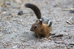 Psst...hey buddy...got any food to spare? (rozoneill) Tags: lost creek camp campground lassen volcanic national park california