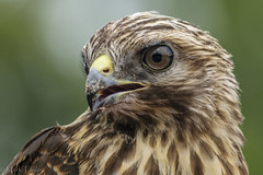 Ready for my close up. (*Ranger*) Tags: nikond3300 nature wildlife raptor birdofprey bird hawk edgarevinsstatepark tennessee usa