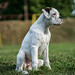 Young White Boxer Dog Sitting in the Field