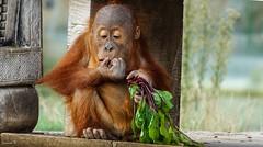 Baby - 5907 (ΨᗩSᗰIᘉᗴ HᗴᘉS +21 000 000 thx) Tags: baby orangoutan young hensyasmine namur belgium europa aaa namuroise look photo friends be wow yasminehens interest intersting eu fr greatphotographers lanamuroise