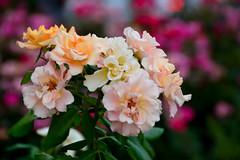 For you.. (Raquel Borrrero) Tags: flower flor flores flowers colorful colores color plant plantas garden jardin bokeh natural naturephotography colourfestival ramo bouquet ramillete