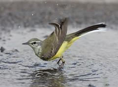IMG_2471-yellow-wag-female-May-2009 (Jerry OB) Tags: yellowwagtail motacillaflava bird puddle water splash male female