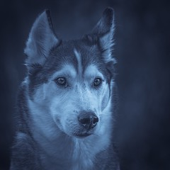 Aurora (Cruzin Canines Photography) Tags: canon5ds portrait siberianhusky closeup cute domesticanimal dog eos5ds animals girl nature dogs canon monochrom pets naturallight canine canoneos5ds animal blackandwhite female domestic mammal colorado husky outdoors outside 5ds pet