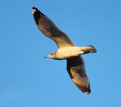 Sun Lit Gull (jdathebowler Thanks for 2.7 Million + views.) Tags: gull seagull seabird blueskies