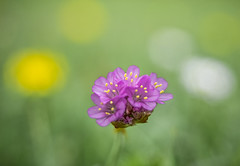 Difference (Dan Österberg) Tags: flower flowers flora purple magenta yellow white green grass ground macro bokeh