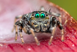 Green-eyed jumping spider (Salticidae) - DSC_9525