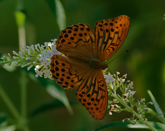 Argynnis Paphia (G.Sartori.510) Tags: pentaxk3 smcpentaxda300mmf4edifsdm farfalla butterfly argynnispaphia whitebuddleja