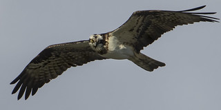 Osprey - and The myth of raptor vision