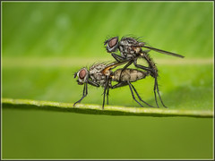 Fly Pair (Ed Phillips 01) Tags: flies diptera mating pair cop copulating staffordshire insect macro photography