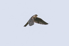 Peregrine Falcon (Dougie Edmond) Tags: raptor falcon bird prey nature wildlife