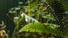 Soft Sword (Theen ...) Tags: adelaide backlit fronds green lumix plants sunroom swordfern theen