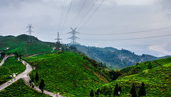 Green Brilliance!! (abhishek.verma55) Tags: teagarden rollinghills tea ©abhishekverma canon550d landscape travel travelphotography greens green greenery nature natural naturelove incredibleindia photography flickr landscapes beautiful beautifulnature road path tinglingviewpoint view sky clouds cloudy cloudscape cloud hills hillside beauty mirik westbengal darjeeling teaplants teaplantation india indiatravel outdoor outdoors outside serene scenic scenery scene colourful colorful colors colours moody waves evening trees tree travelphotos valley vivid vibrant vibrance vista explore exploration rural