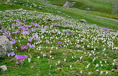 Mountain flowers/ 2600m (meren34) Tags: plateau rize turkey flowers crocus country mountain spring nature pasture grassland white green purple