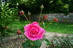 Ausblick (One-Basic-Of-Art) Tags: nature natur pflanzen plants outdoor drausen blumen blüten blätter blatt fliege photography fotografie iloveflickr rose pink herzogspark