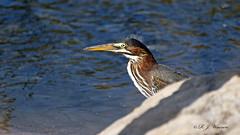 IMG_0602_DxOFB (Aria (RJWarren)) Tags: greenheron butoridesvirescens nature wildlife wild fauna avian bird heron shorebird midwest iowa juvenile young canon 6d tamron150600mm