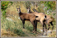 Chamois trio 180907-02-P (paul.vetter) Tags: rupicaprarupicapra capriné chamois bovidé gamuza gemse mountaingoat mammifère