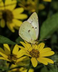 Butterfly_SAF4215 (sara97) Tags: copyrightâ©2018saraannefinke missouri nature photobysaraannefinke saintlouis towergrovepark butterfly insect pollinator copyright©2018saraannefinke