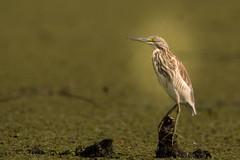 Alone in the green. (Gergely_Kiss) Tags: birdstalking reed marshland hungarywildlife hungary tiszató squaccoheron üstökösgém ardeolaralloides