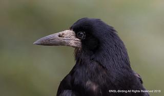 Rook , Look at that beak !