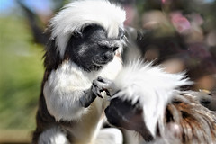 How would you like your hair love (Paul Wrights Reserved) Tags: cottontoptamarin tamarin monkey smallmonkey monkeys cute cuteness hair hairy hairdresser groom grooming love family bokeh portrait beautiful