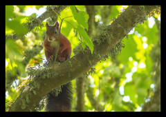 Out of Sight (Sarah Fraser63) Tags: redsquirrel squirrel caldeyisland tenby wales pembrokeshire animal nature outdoors trees sonya77