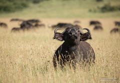 Cape Buffalo - Syncerus caffer (rosebudl1959) Tags: 2018 kenya masaimara zebraplains capebuffalo june