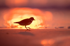 Semi-palmated Plover (Brian_Harris_Photography) Tags: semi palmated plover beach tidal tide sand saltwater atlantic migration fall sunshine sunlight light lens nikon nature nikkor exposure shorebird shore coast hiking