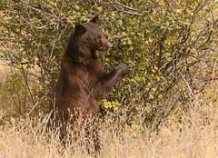 Black Bear Taking a Stand (ken.helal) Tags:
